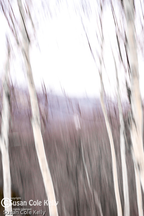 Winter birch in Pinkham Notch in the White Mountain National Forest, New Hampshire, USA