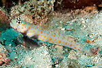 Amblyeleotris guttata, Orange-spotted shrimp goby, Raja Ampat, Indonesia