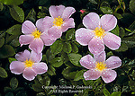 Swamp Rose, Rosa palustris