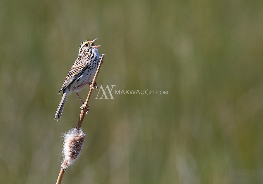 A Savannah sparrow sings a song at Market Lake.