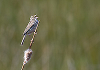 A Savannah sparrow sings a song at Market Lake.