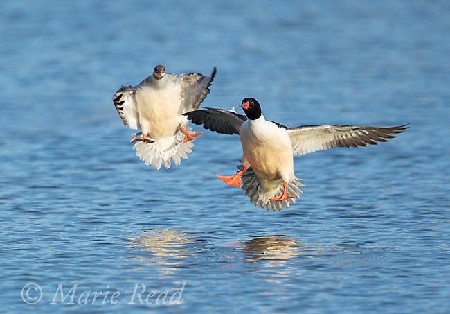 Common Mergansers (Mergus merganser) pair in breeding plumage landing in water, New York, USA