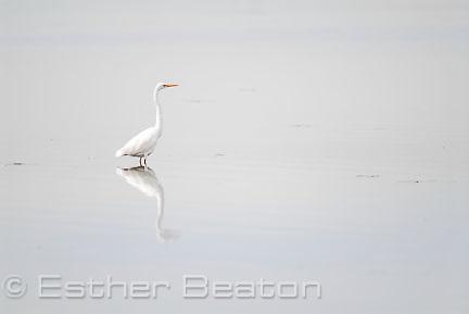 White Egret (Egretta alba) Central Coast, New South Wales