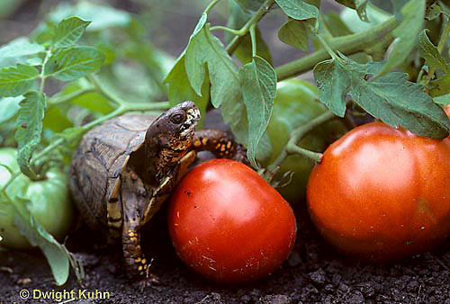 1R42-010x  Eastern Box Turtle - preparing to eat tomato in garden - Terrapene carolina