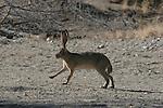 jackrabbit,  4 legs