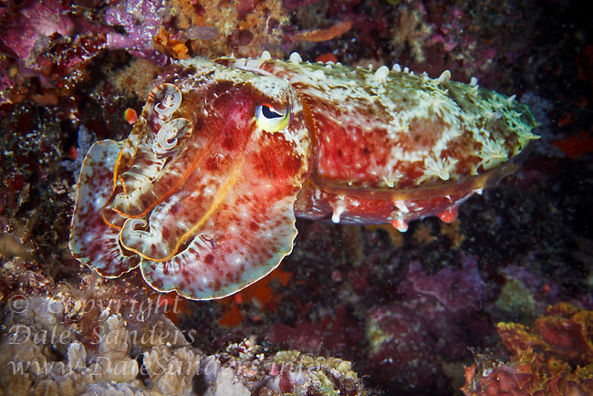 A cuttlefish flashes its colors on a coral reef off New Britain Island, Papua New Guinea.