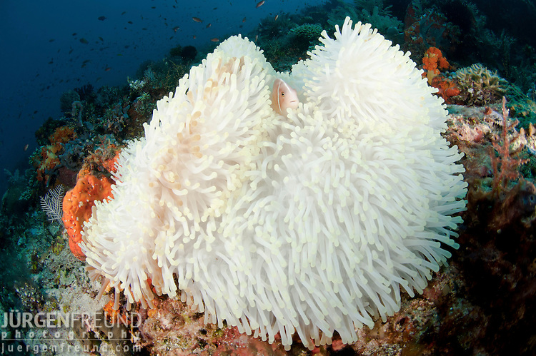 Bleached anemone with a pink anemonefish (Amphiprion perideraion)