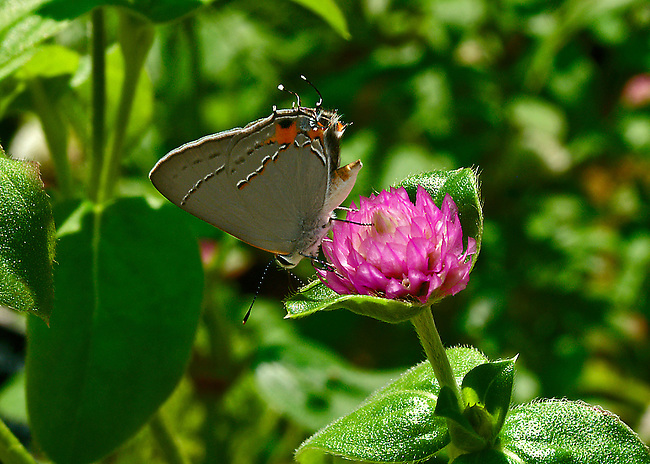 """Oak Hiairstreak feasting on clover. The """"W"""" on the underside of the hindwing is apparent as is the single blue hind-wing spot. The black and orange dashes are highlighted by white ones. The large orange markings stands out at the tip of the hindwings."""
