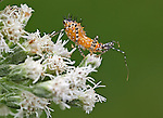 An assasin bug nymph on a boneset flowerhead.