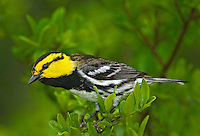 591850039 a wild federally endangered juvenile male golden-cheeked warbler setophaga chrysoparia - was dendroica chrysoparia - perches in a fir tree in the texas hill country texas united states