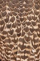 Saker falcon back feathers, captive, Dubai Desert Conservation Reserve, Dubai