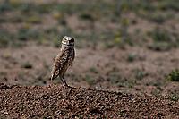 Burrowing Owl near Marathon, Texas