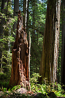 A jagged stump stands among the redwoods along the Boy Scout Trail at Jedidiah Smith State Park in Northern California.