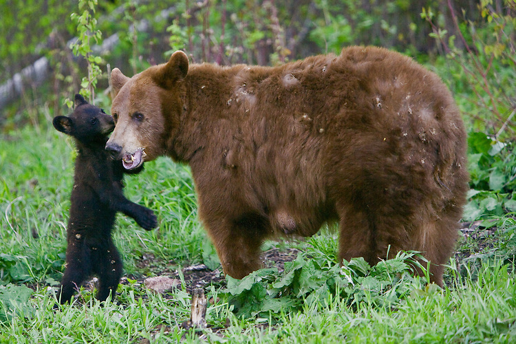 Black Bear cub standing on its hind legs next to its mother