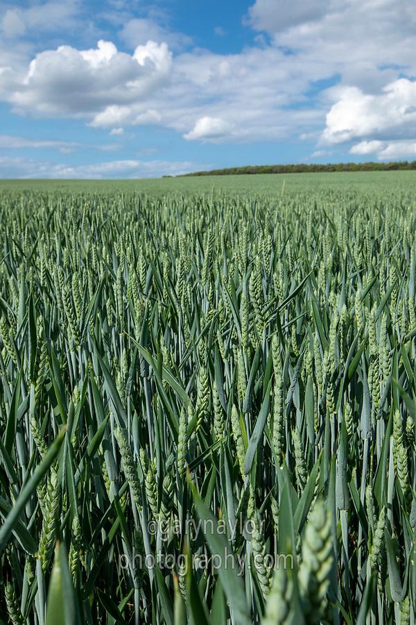 Winter wheat in ear - Norfolk, June