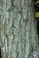 Monterey Cypress Cupressus macrocarpa (Cupressaceae) HEIGHT to 36m. Large evergreen, pyramidal when young, domed and spreading when mature. BARK reddish-brown; ridged and scaly with age. BRANCHES Crowded, upright on younger trees, more level and spreading with age. LEAVES Small, scale-like, on stiff, forward-pointing shoots; lemon-scented. REPRODUCTIVE PARTS Male cones yellow, up to 5mm across, are produced on tips of shoots behind female cones; females 2–4cm across, rounded and bright green at first, maturing purplish-green; each scale has a central point. STATUS AND DISTRIBUTION Native near Monterey, California, where it is now rare and never attains the size it can in W Britain and Ireland.