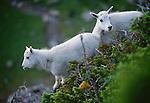 Mountain goat kids, Glacier National Park, Montana