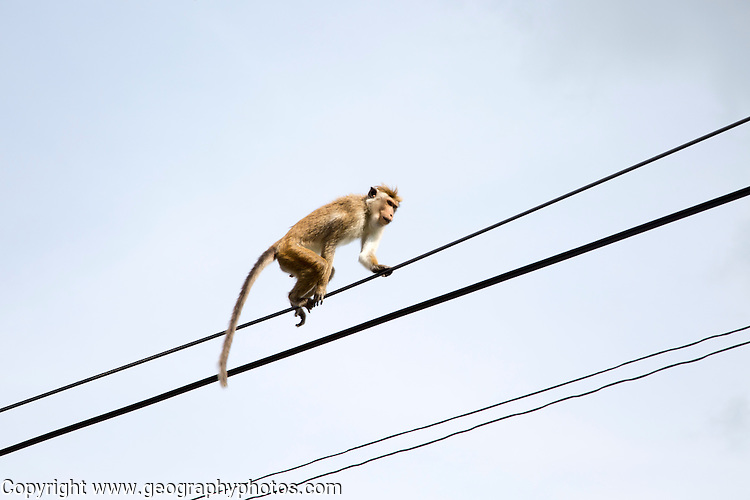 Toque macaque (Macaca sinica) monkey, Haputale, Badulla District, Uva Province, Sri Lanka, Asia