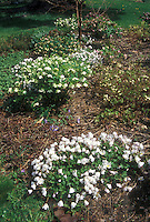 Early spring garden: clumps of flowering hellebores, anemones, Epimedium