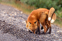 Fox kits stand intertwined along the roadside, awaiting mom's return with food on Alaska's north slope.
