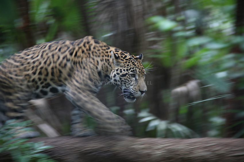 Young jaguar named Junior at the Belize Zoo
