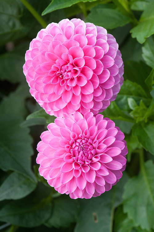 Dahlia 'Tahoma Lady Oh', early September. A pink Miniature Ball Group dahlia.