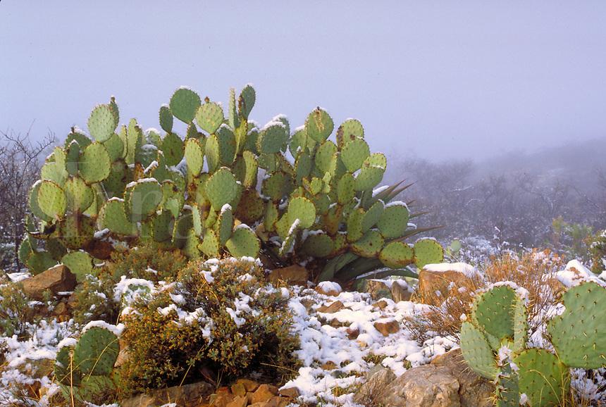 Cactus in winter.