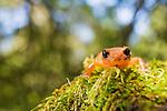 Yellow-eyed Ensatina (Ensatina eschscholtzii xanthoptica) and Monterey Ensatina (Ensatina eschscholtzii eschscholtzii) salamander hybrid, Santa Cruz, Monterey Bay, California