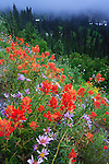 Display of wild flowers at paradise point in Mt. Rainier national park in Washington state.