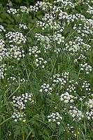 Wiesen-Kerbel, Wiesenkerbel, Anthriscus sylvestris, Quenn Anne´s Lace
