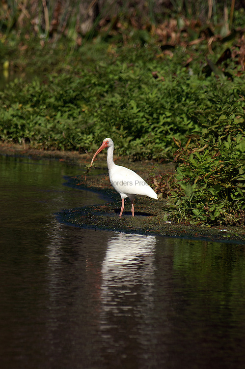 A white ibis hunts at the edge of the water.