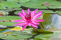 'Panama Pacific' water lily (Nymphaea) in full bloom, Bocas del Toro, Panama