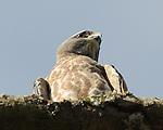 A juvenile hawk surveys the ground below.