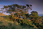 Sunset light on Oak tree in spring, Santa Cruz Island, Chanel Islands, California
