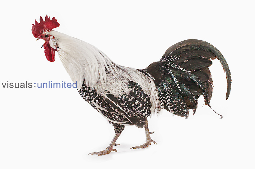 Male Brakel domestic chicken crowing.