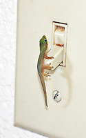 Baby Madagascar Gold Dust Day Gecko on light switch, Oahu, Hawaii