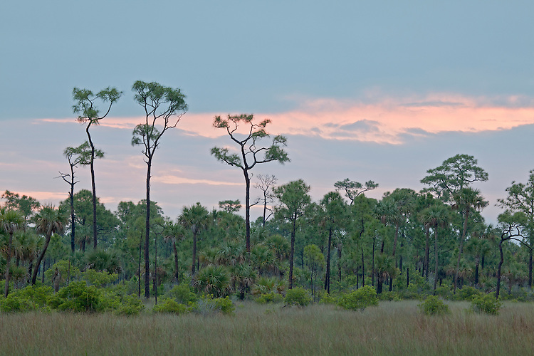 Saw grass, pop ash, and slash pines (Pinus elliottii) in a pineland forest in Copeland Prairie in Big Cypress National Preserve, Florida