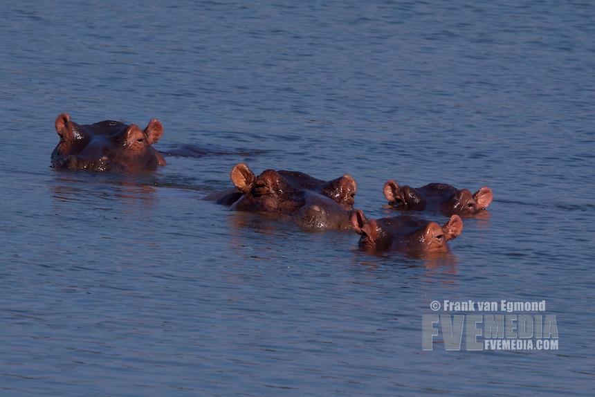 Hippo herd.(Hippopotamus Amphibius)..Nyamithi pan..May, Winter 2009..Ndumo Game Reserve, Kwazulu-Natal, South Africa.