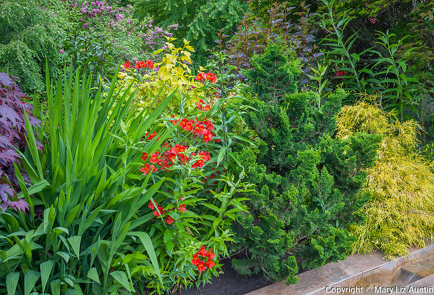 Vashon Island, WA: Perennial garden featuring alstromeria, crocosmia 'lucifer', hinoki cypress tree, false cypress and ninebark in Froggsong garden in summer