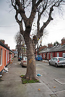Mature Sycamore tree on a Dublin Street, Ireland.
