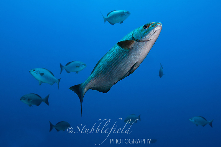 School of Chub (Kyphosus sp.) swimming over a tropical coral reef off the island of Roatan, Honduras.