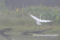 00688-02415 Great Egret (Ardea alba) in flight in wetland in fog, Marion Co., IL