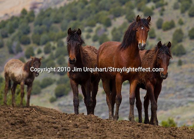 Wild Horses at the Bureau of Land Management's (BLM) wild horse corral outside Salt Lake City, Utah. 5/13/2010 Jim Urquhart/Straylighteffect.com