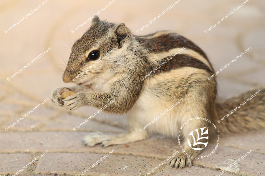 Cute squirrel eating nut out of its hands