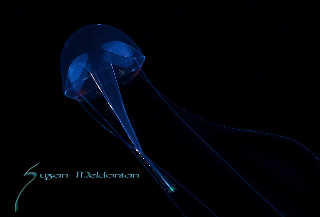 Liriope Jellyfish, Black Water diving, Pelagic marine life; planktonic creature; Off Riviera Beach, Fl, Gulfstream Current, South Atlantic Ocean.