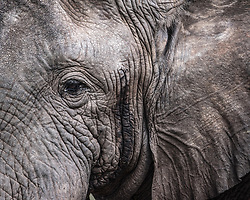 Face to face with a large elephant, Tanzania.
