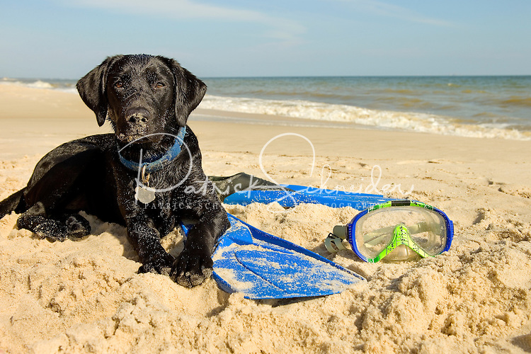 A black lab dog plays on the beach on Dauphin Island, Alabama, a barrier island located three miles south of the mouth of Mobile Bay in the Gulf of Mexico. This island, which is approximately 14 miles long and less than two miles wide, appears to have fully recovered from the impact of Hurricane Katrina (2005) and the BP Deepwater Horizon Oil Spill in 2010. Both events greatly reduced tourism income (fewer people came to the island) and local business owners say many establishments went out of business. Today they say they're looking forward to a rebounding tourism business.