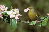 Grünfink, Grünling, Männchen, Grün-Fink, Chloris chloris, Carduelis chloris, Greenfinch, Verdier d'Europe