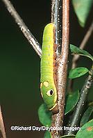 03029-010.16 Spicebush Swallowtail (Papilio troilus) caterpillar on Spicebush (Benzoin aestivale)  Marion Co.  IL