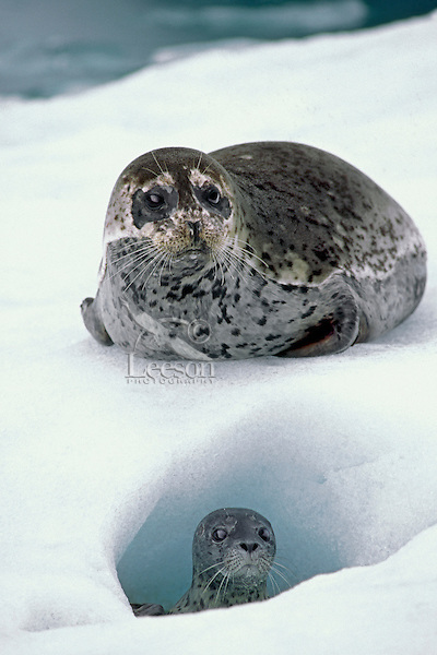 Harbor Seals (Phoca vitulina)--mother with young pup on ice flow.  LeConte Glacier, Alaska.  June.